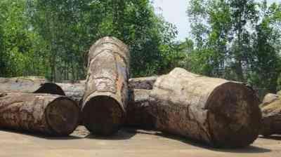 Đặc điểm gỗ cây du trong thiết kế nội thất đồ gỗ