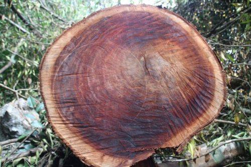 5 cách nhận biết gỗ nghiến dễ dàng
