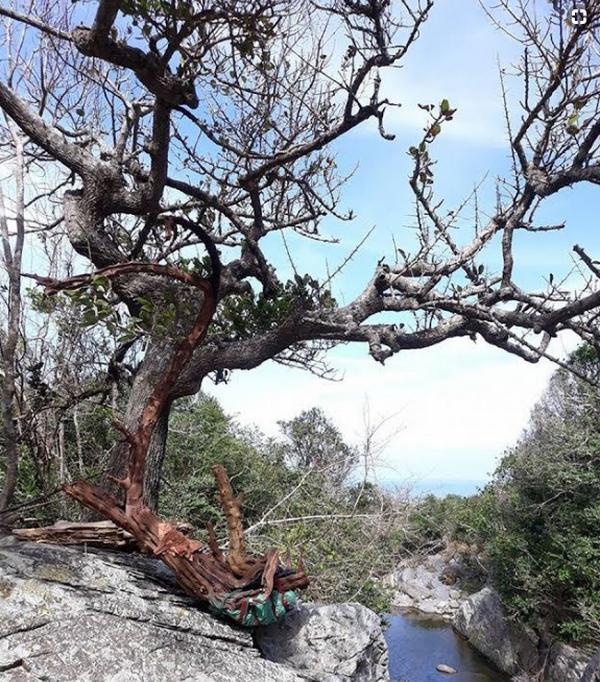 Gỗ trắc là loài cây thường xanh, có thể rụng lá vào mùa khô và nở hoa vào mùa xuâ
