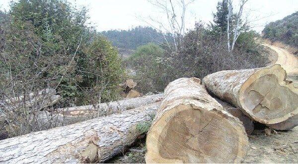 gỗ dổi khá nhẹ, mềm, chịu được lực mạnh, bền, dẻo dai