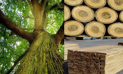 Các loại gỗ sồi và cách phân biệt