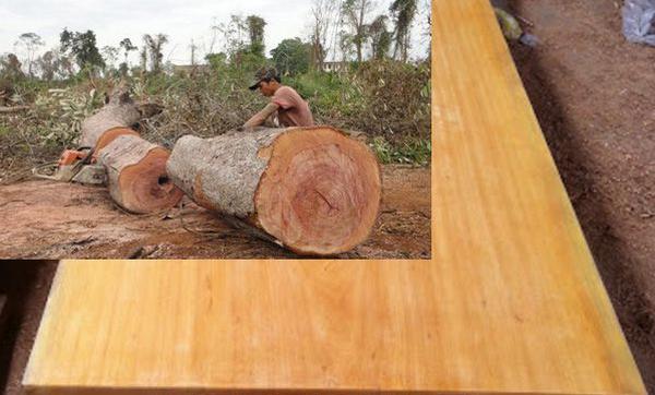 Cây gỗ sao đỏ có đến khi trưởng thành cần thời gian tầm 50 – 60 năm