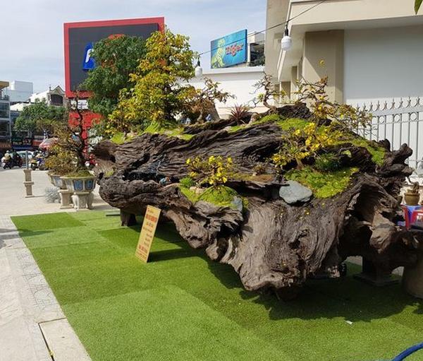 Giá trị khủng của gỗ sao khiến nhiều người mơ ước