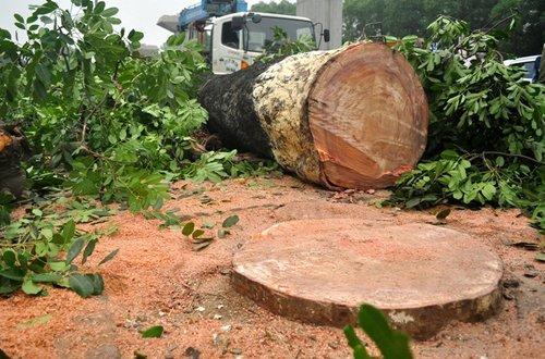 Giá trị thật của cây gỗ xà cừ!
