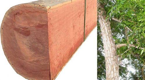 Giải đáp thắc mắc gỗ xoan đào có bị mọt không?
