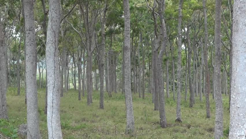 Gỗ hồng đào là loài cây thân gỗ lớn