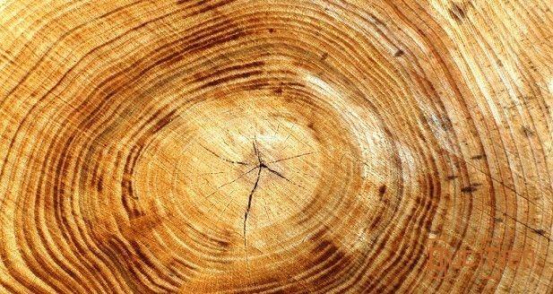 Lớp thịt gỗ của gỗ huynh đàn trắng khá dày