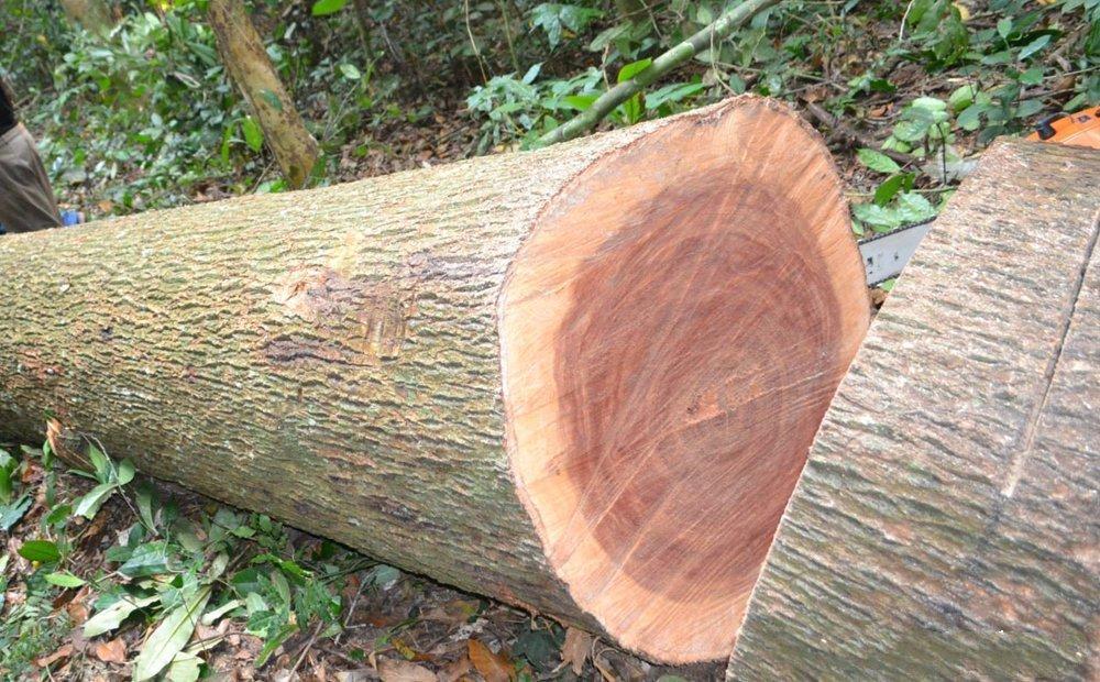 Gỗ cây kiền kiền có vỏ mang màu nâu gỗ pha đen sạm đặc trưng