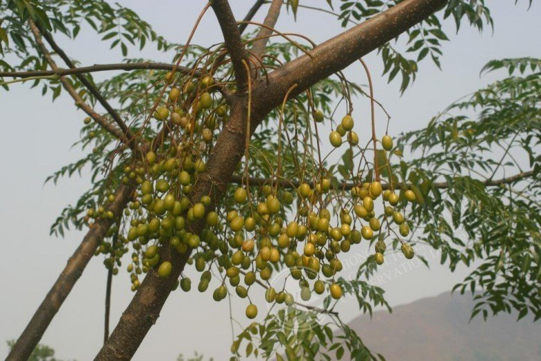 Do đặc tính sinh trưởng mạnh mẽ, nên gỗ xoan cũng trở nên phổ biến tại Việt Nam