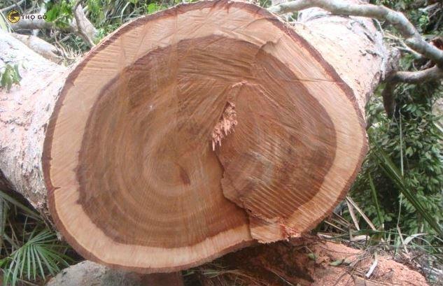 Vân gỗ xoan đào có ưu điểm là rất đồng đều và rõ nét
