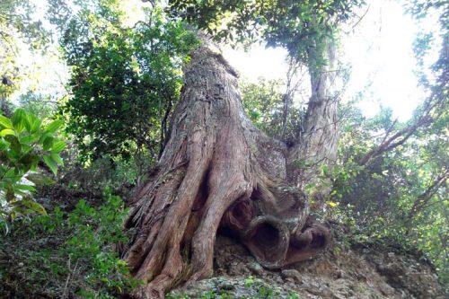 Sự thật về gỗ bách xanh mang đến tài lộc cho gia đình