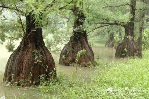 Tại sao gỗ thủy tùng lại đắt và quý đến vậy
