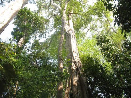 """Tìm hiểu về gỗ ca te, loại gỗ quý nhất """" hệ mặt trời"""""""