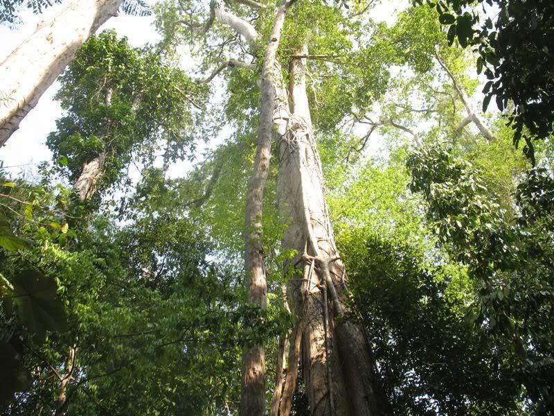 Gỗ ca te thuộc họ đậu, là giống cây khai thác để lấy gỗ
