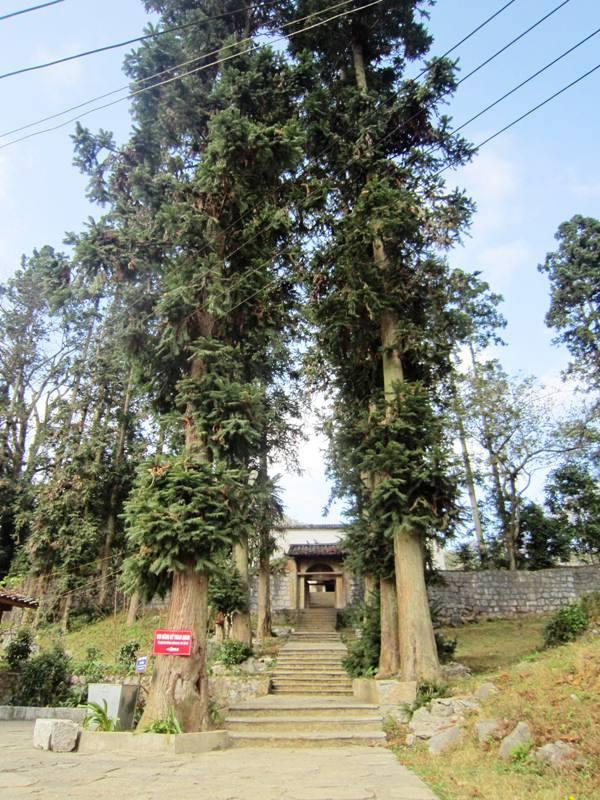 Cây gỗ samu phát triển tốt ở các nơi có đất mùn