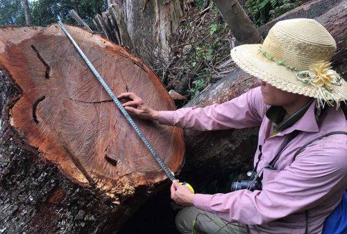 Ứng dụng của gỗ samu trong đời sống