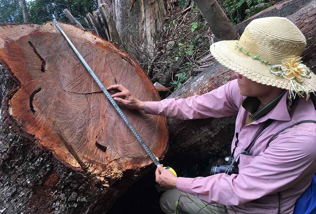 Ứng dụng của gỗ samu trong đời sống - ung dung cua go samu trong doi song 3